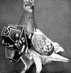Cher Ami - The Carrier Pigeon
